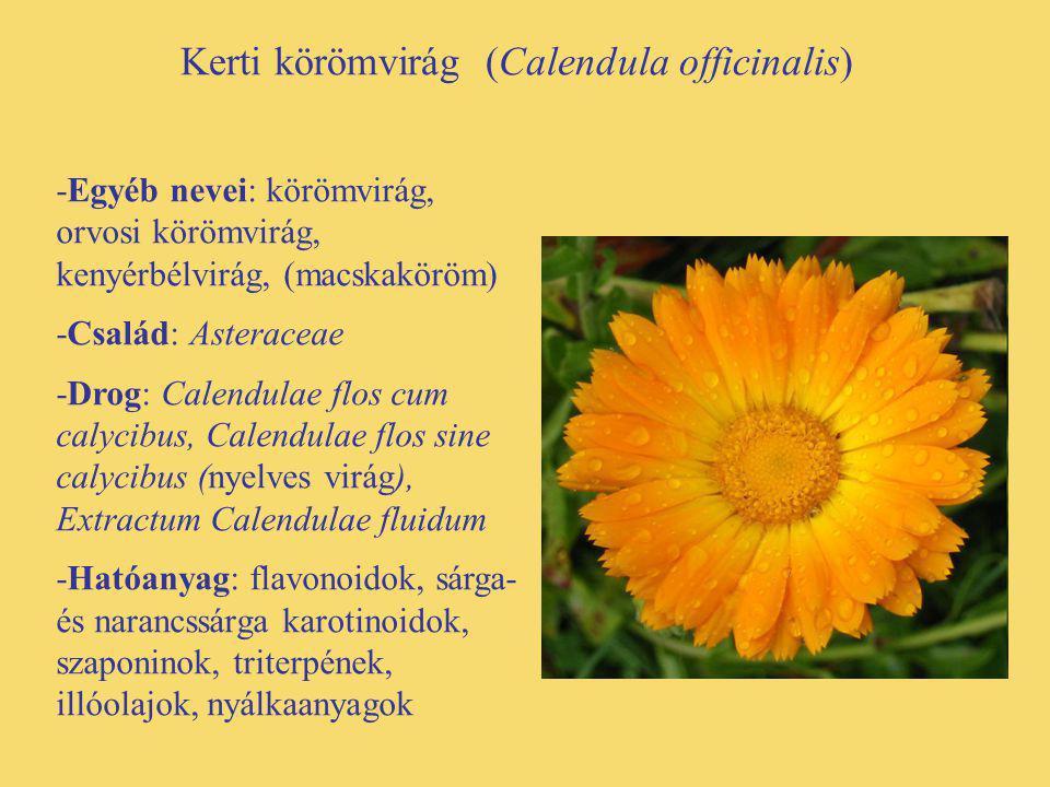 Kerti körömvirág (Calendula officinalis)