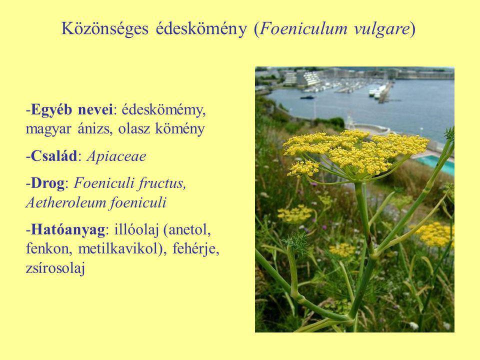Közönséges édeskömény (Foeniculum vulgare)