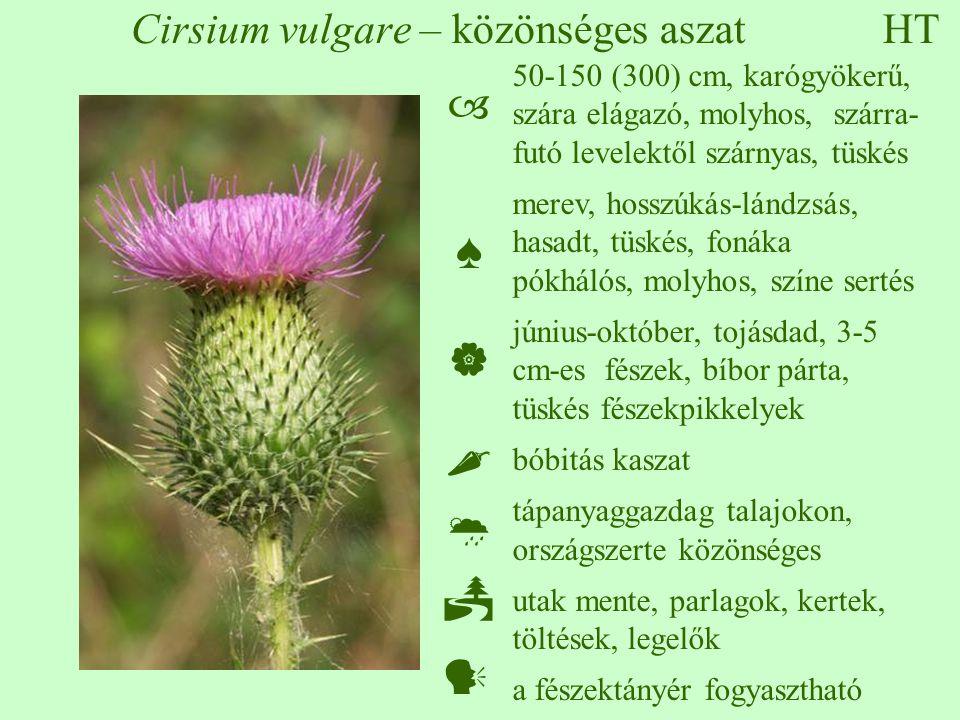 Cirsium vulgare – közönséges aszat