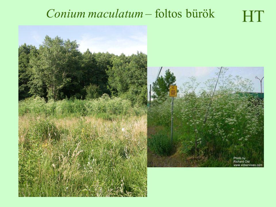Conium maculatum – foltos bürök