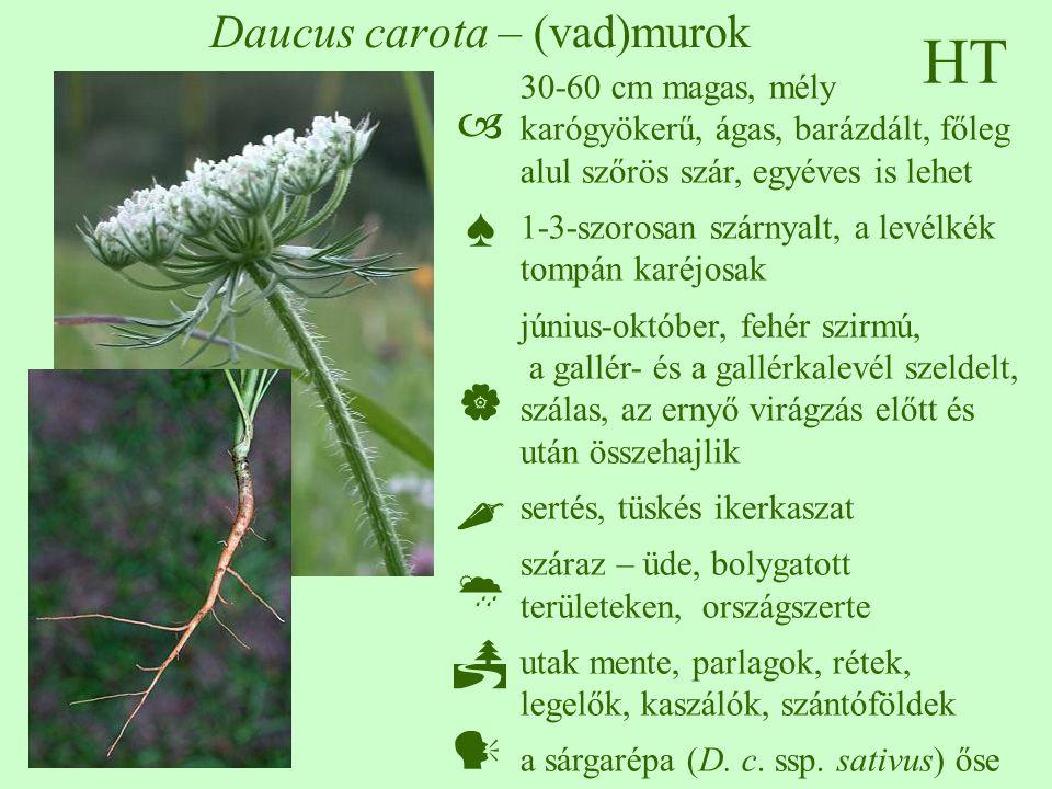 Daucus carota – (vad)murok