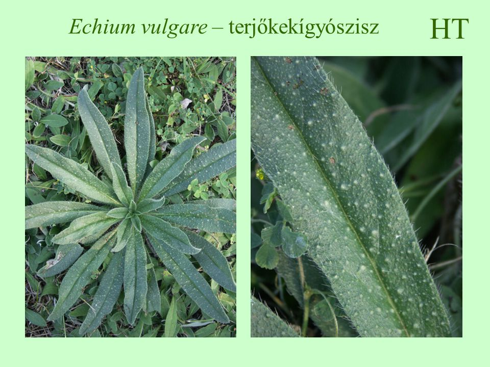 Echium vulgare – terjőkekígyószisz