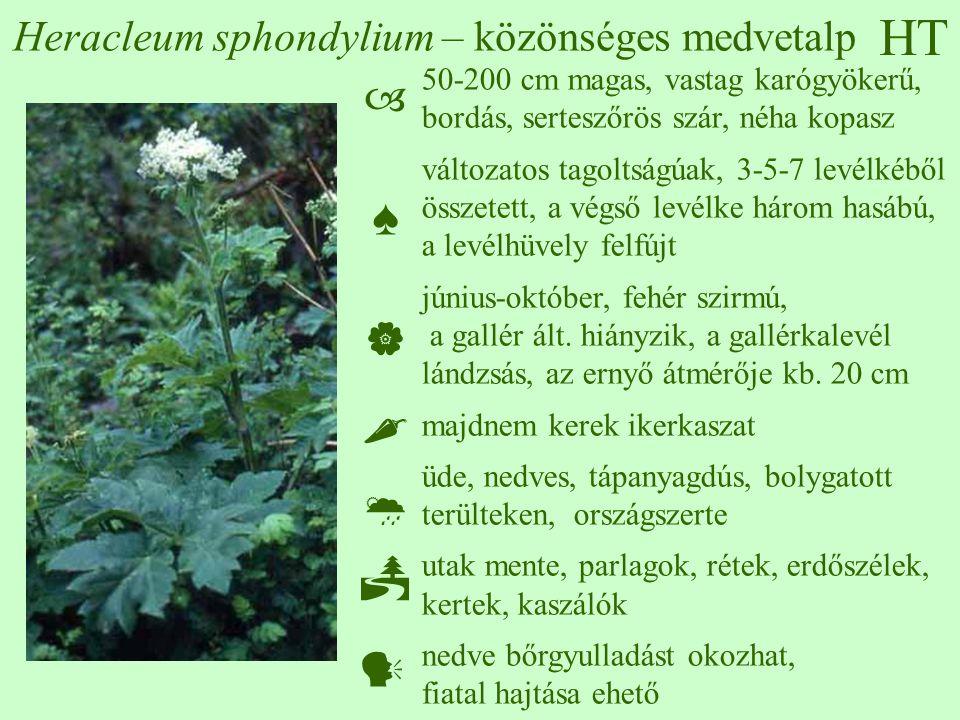 Heracleum sphondylium – közönséges medvetalp