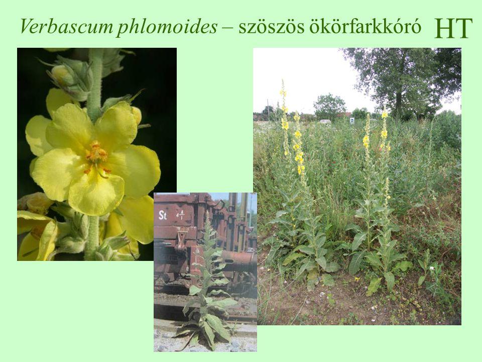 Verbascum phlomoides – szöszös ökörfarkkóró