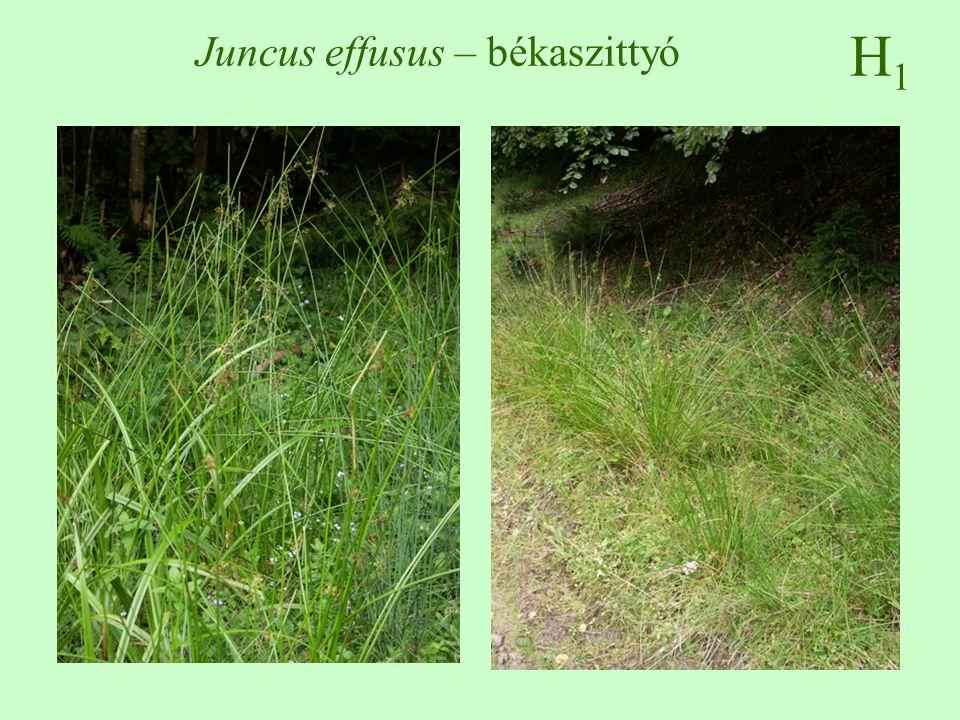 Juncus effusus – békaszittyó