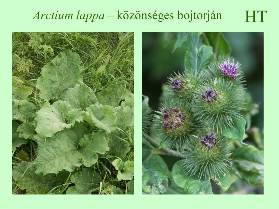 Arctium lappa – közönséges bojtorján