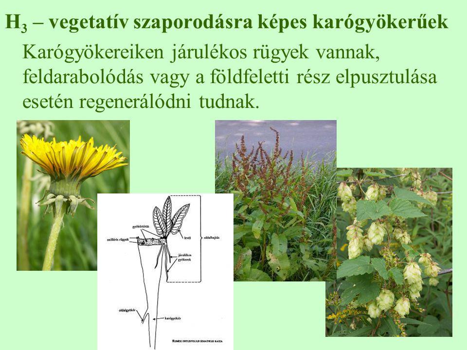 H3 – vegetatív szaporodásra képes karógyökerűek