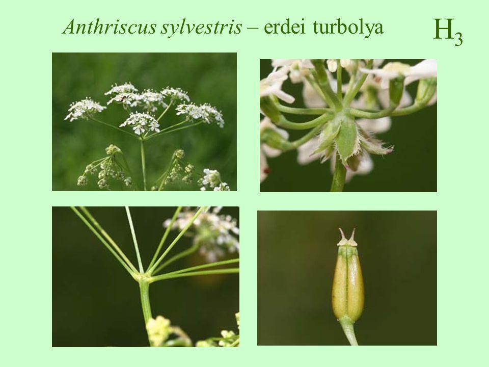 Anthriscus sylvestris – erdei turbolya