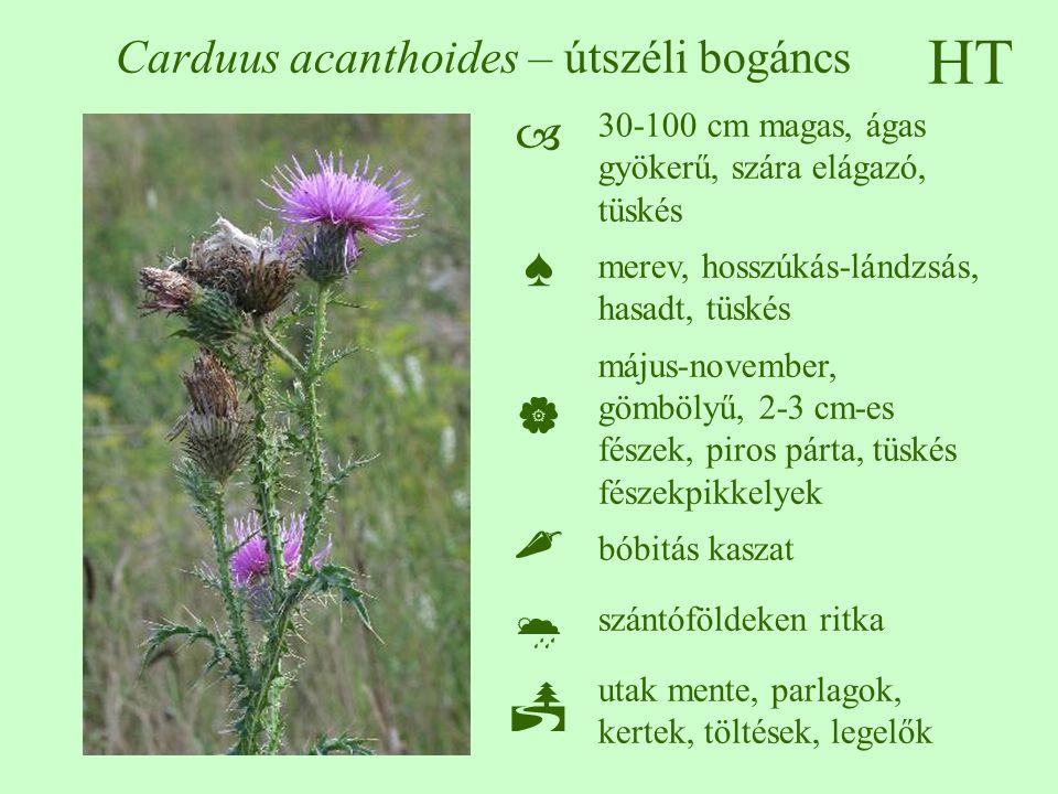 Carduus acanthoides – útszéli bogáncs