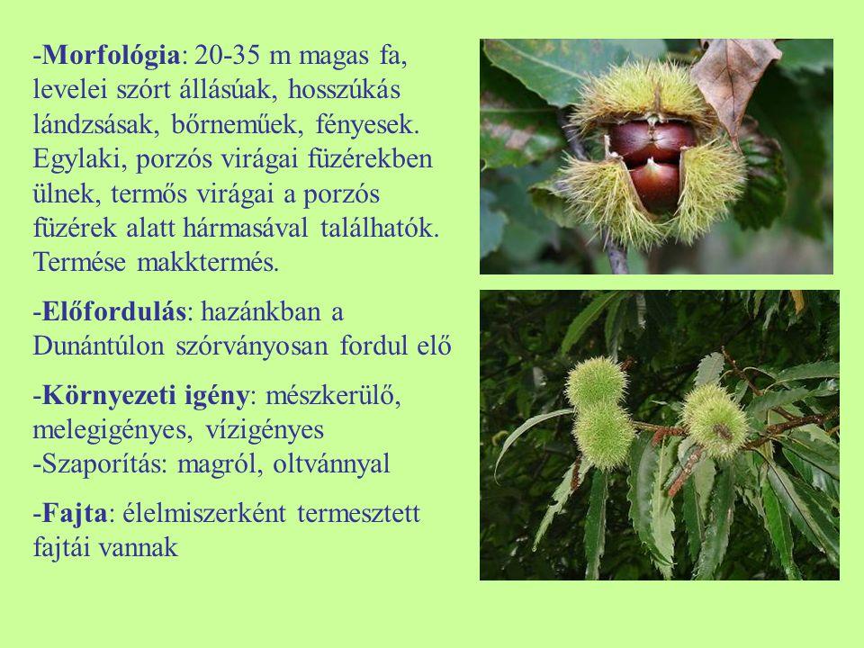 -Morfológia: 20-35 m magas fa, levelei szórt állásúak, hosszúkás lándzsásak, bőrneműek, fényesek. Egylaki, porzós virágai füzérekben ülnek, termős virágai a porzós füzérek alatt hármasával találhatók. Termése makktermés.