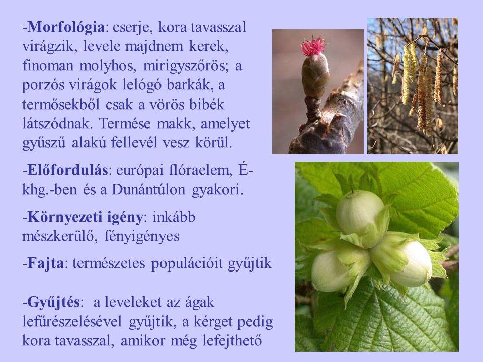 -Morfológia: cserje, kora tavasszal virágzik, levele majdnem kerek, finoman molyhos, mirigyszőrös; a porzós virágok lelógó barkák, a termősekből csak a vörös bibék látszódnak. Termése makk, amelyet gyűszű alakú fellevél vesz körül.