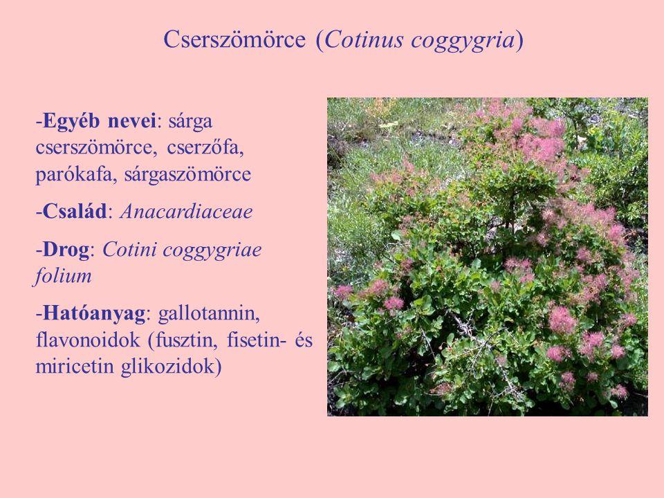 Cserszömörce (Cotinus coggygria)