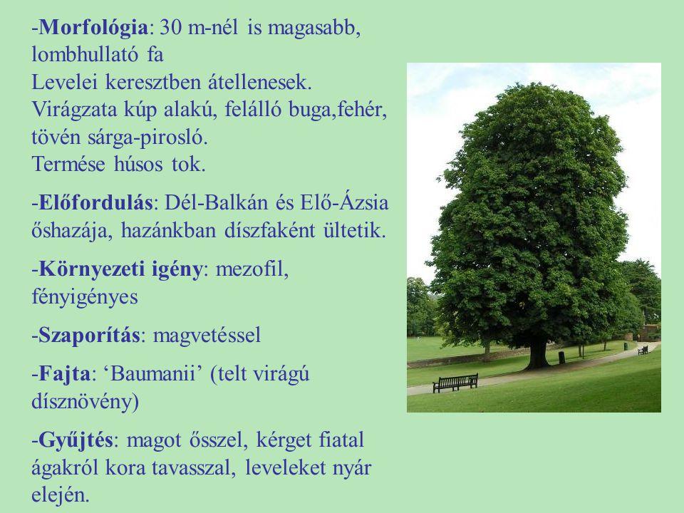 -Morfológia: 30 m-nél is magasabb, lombhullató fa