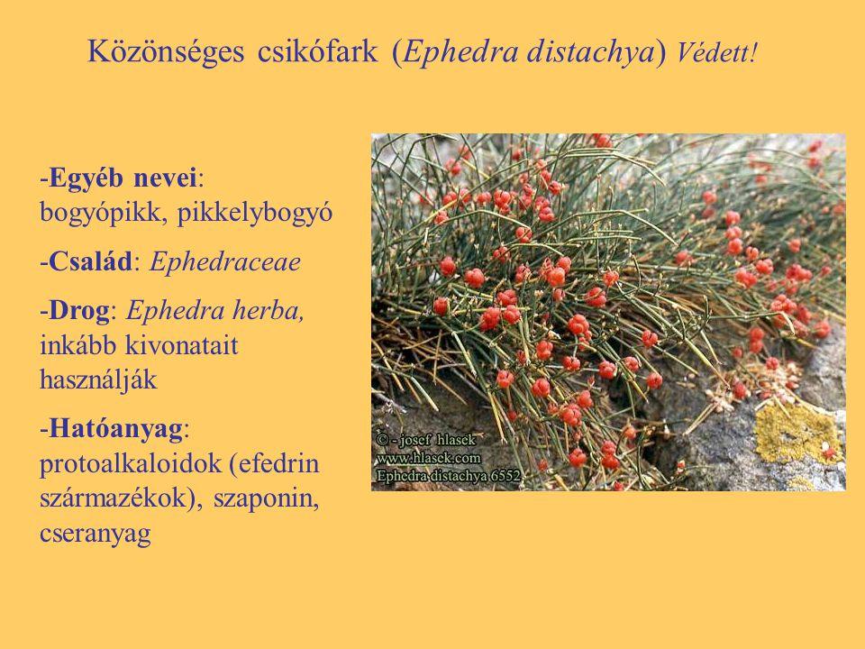 Közönséges csikófark (Ephedra distachya) Védett!