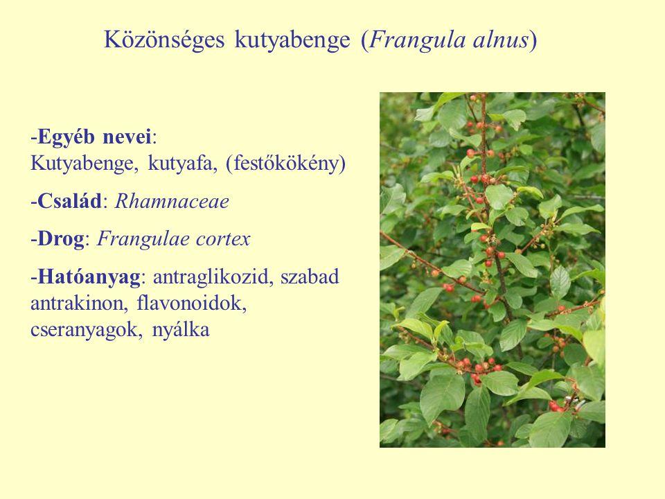 Közönséges kutyabenge (Frangula alnus)