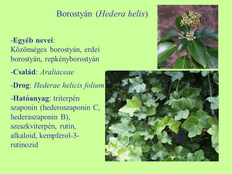 Borostyán (Hedera helix)