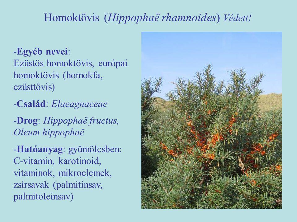 Homoktövis (Hippophaë rhamnoides) Védett!
