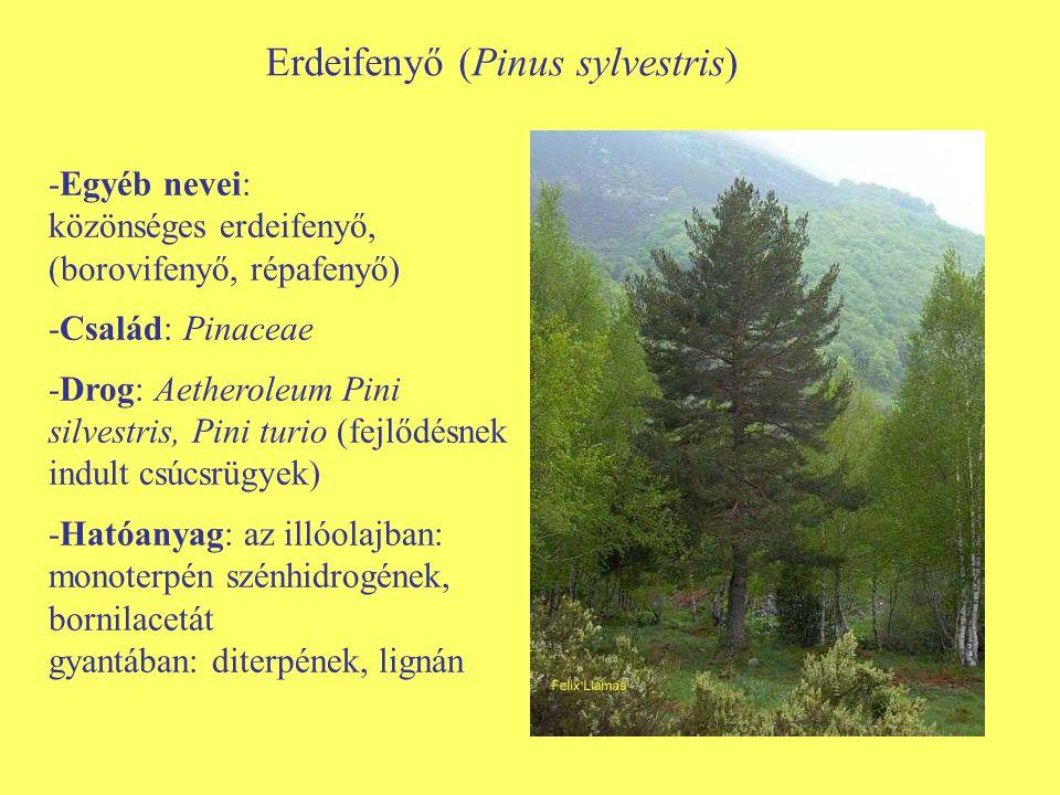 Erdeifenyő (Pinus sylvestris)