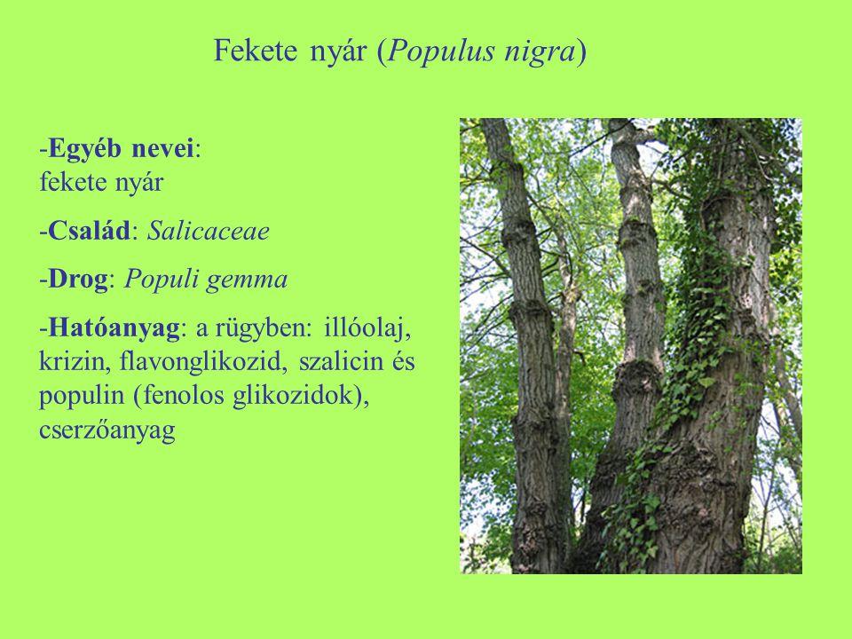 Fekete nyár (Populus nigra)