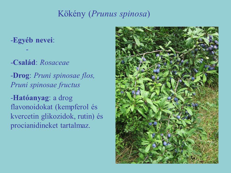 Kökény (Prunus spinosa)