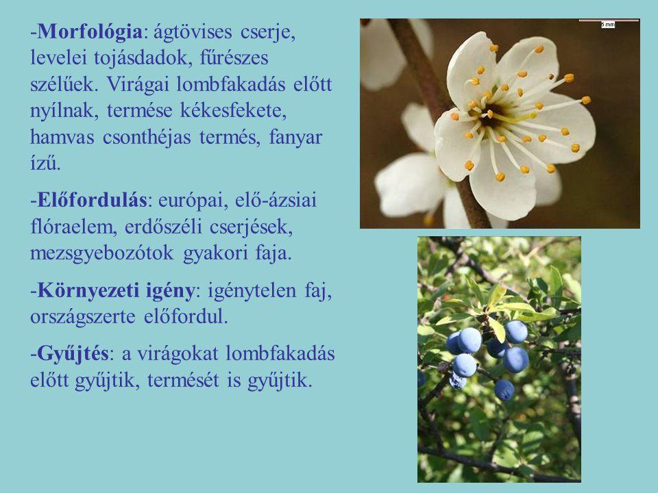 -Morfológia: ágtövises cserje, levelei tojásdadok, fűrészes szélűek