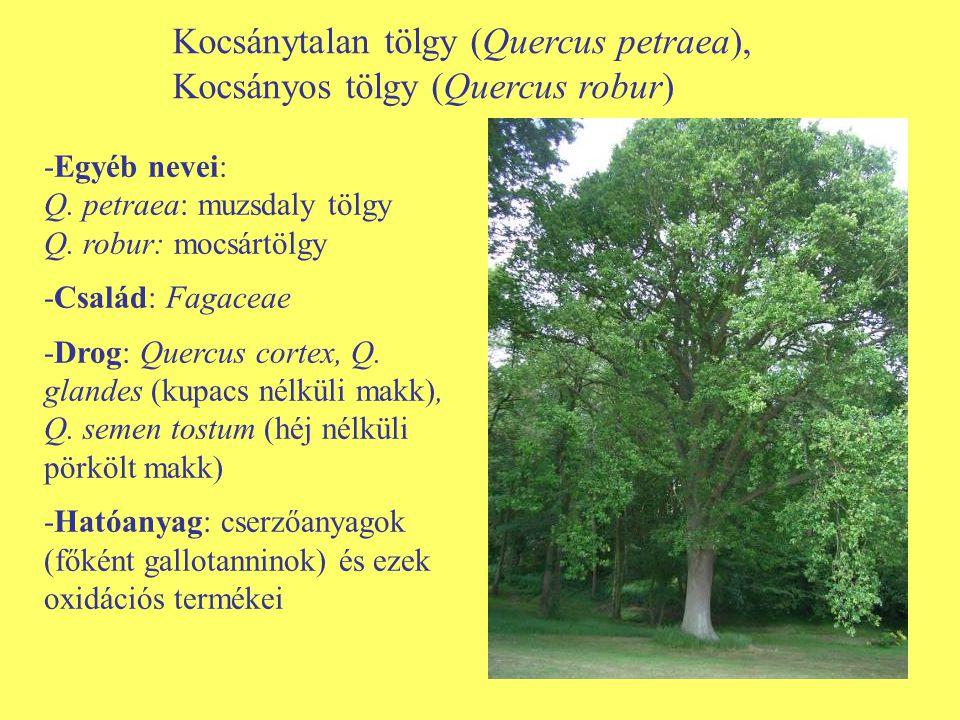 Kocsánytalan tölgy (Quercus petraea), Kocsányos tölgy (Quercus robur)