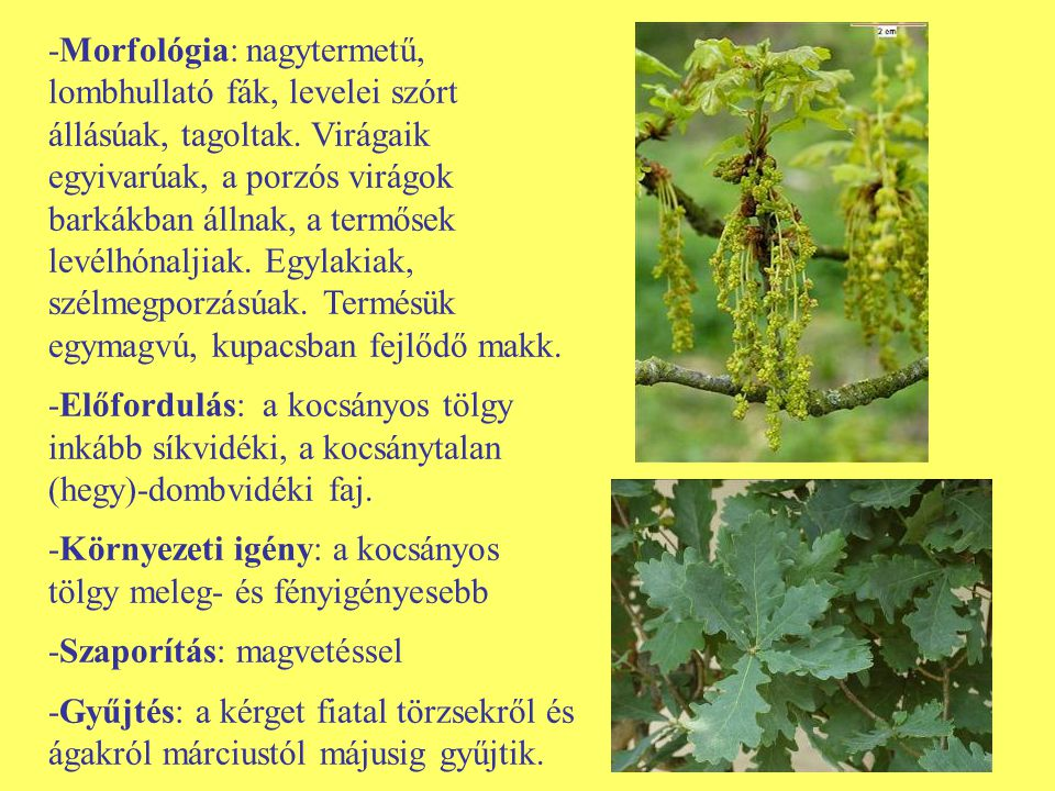 -Morfológia: nagytermetű, lombhullató fák, levelei szórt állásúak, tagoltak. Virágaik egyivarúak, a porzós virágok barkákban állnak, a termősek levélhónaljiak. Egylakiak, szélmegporzásúak. Termésük egymagvú, kupacsban fejlődő makk.