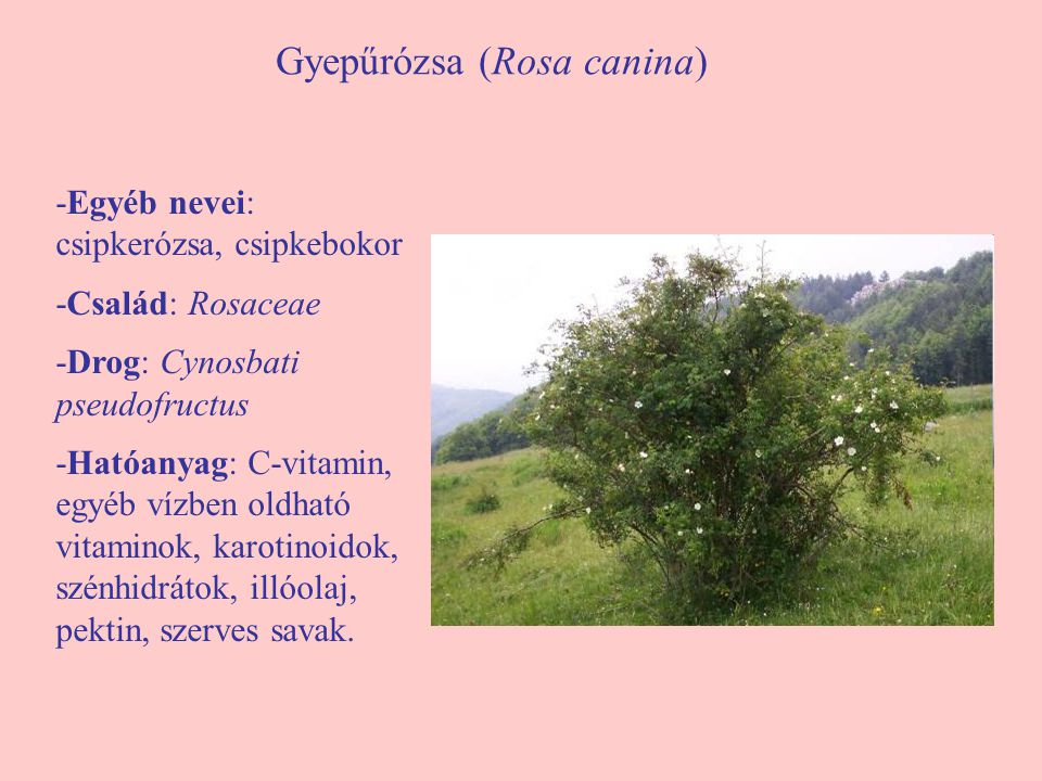 Gyepűrózsa (Rosa canina)