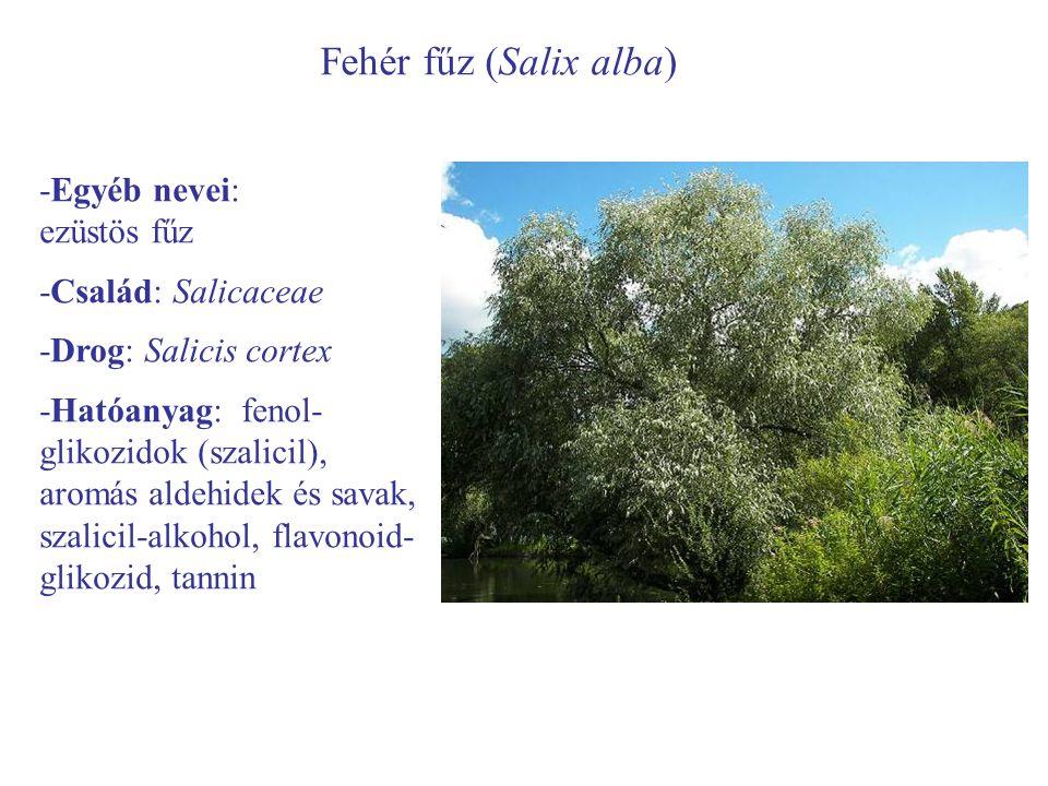 Fehér fűz (Salix alba) -Egyéb nevei: ezüstös fűz -Család: Salicaceae