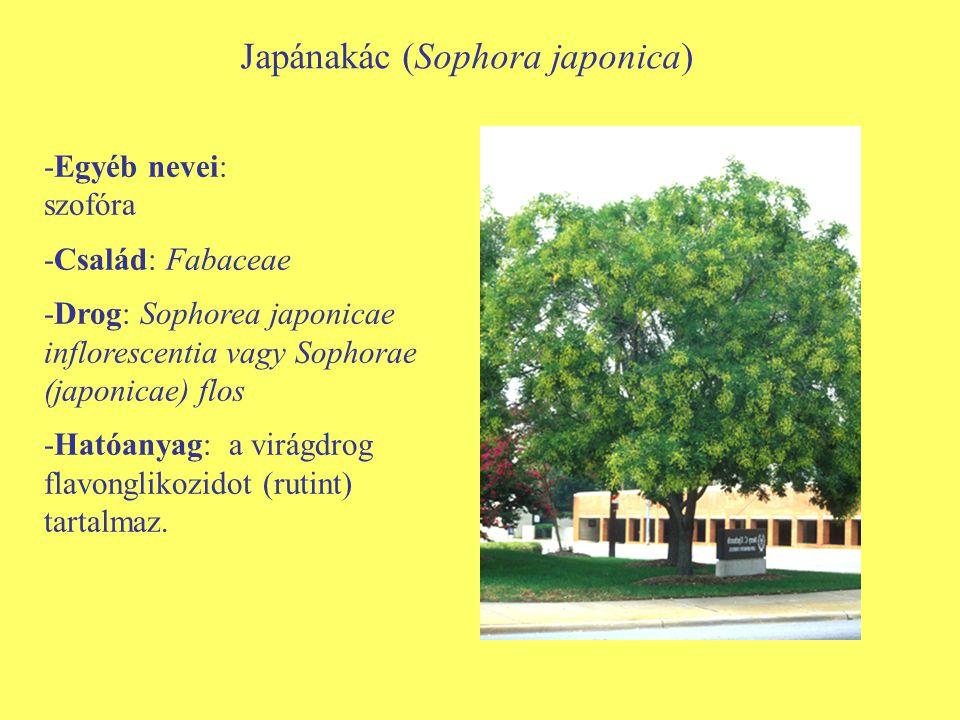 Japánakác (Sophora japonica)