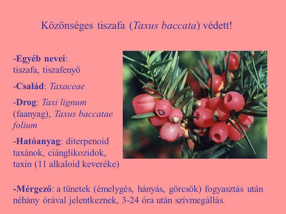 Közönséges tiszafa (Taxus baccata) védett!