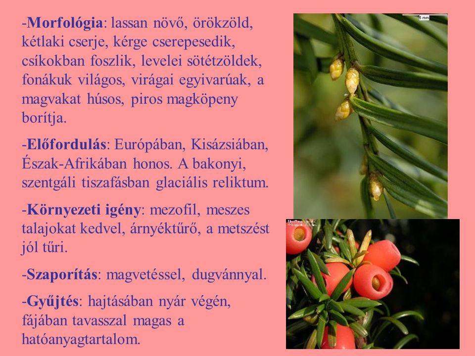 -Morfológia: lassan növő, örökzöld, kétlaki cserje, kérge cserepesedik, csíkokban foszlik, levelei sötétzöldek, fonákuk világos, virágai egyivarúak, a magvakat húsos, piros magköpeny borítja.