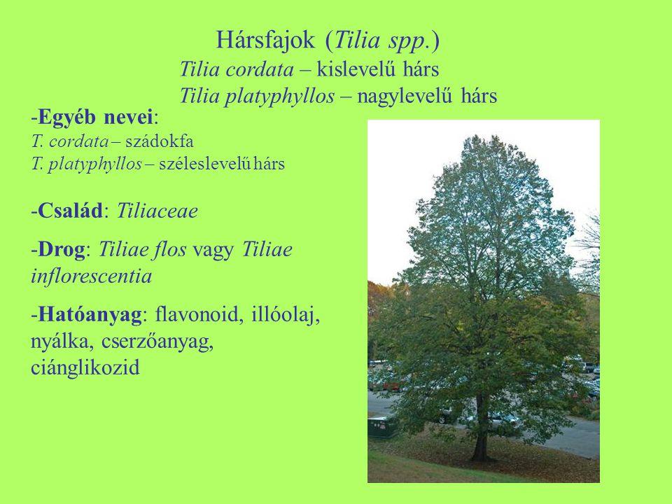 Hársfajok (Tilia spp.) Tilia cordata – kislevelű hárs Tilia platyphyllos – nagylevelű hárs.