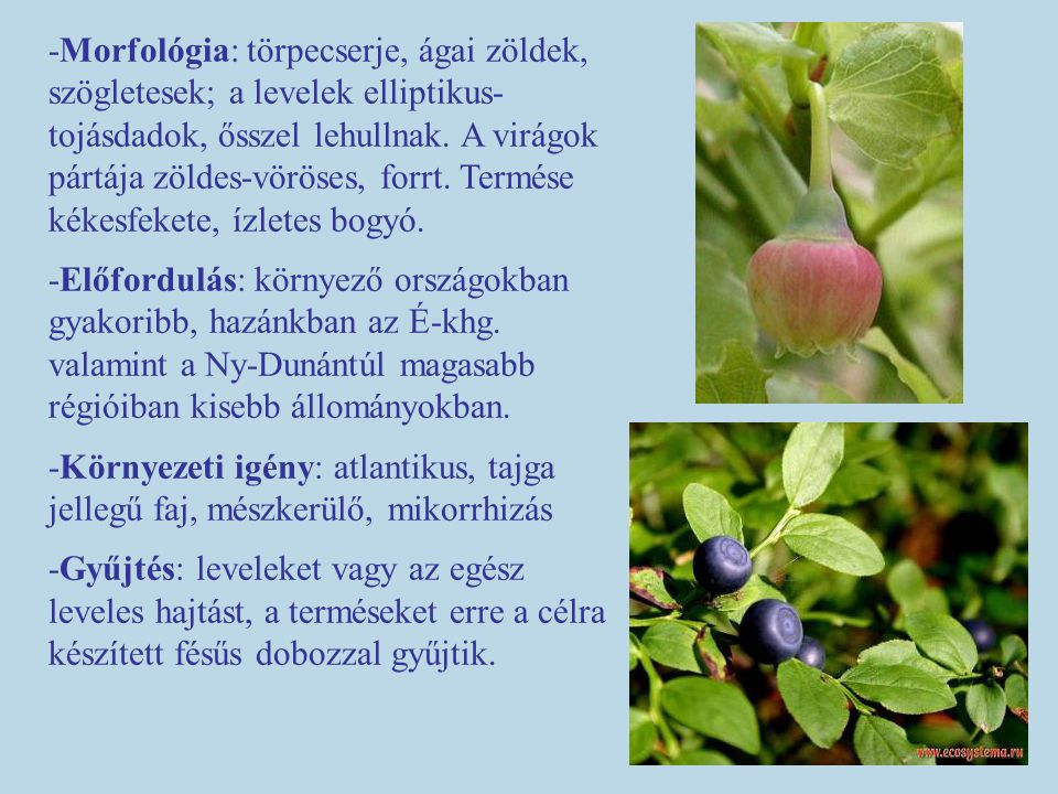 -Morfológia: törpecserje, ágai zöldek, szögletesek; a levelek elliptikus-tojásdadok, ősszel lehullnak. A virágok pártája zöldes-vöröses, forrt. Termése kékesfekete, ízletes bogyó.