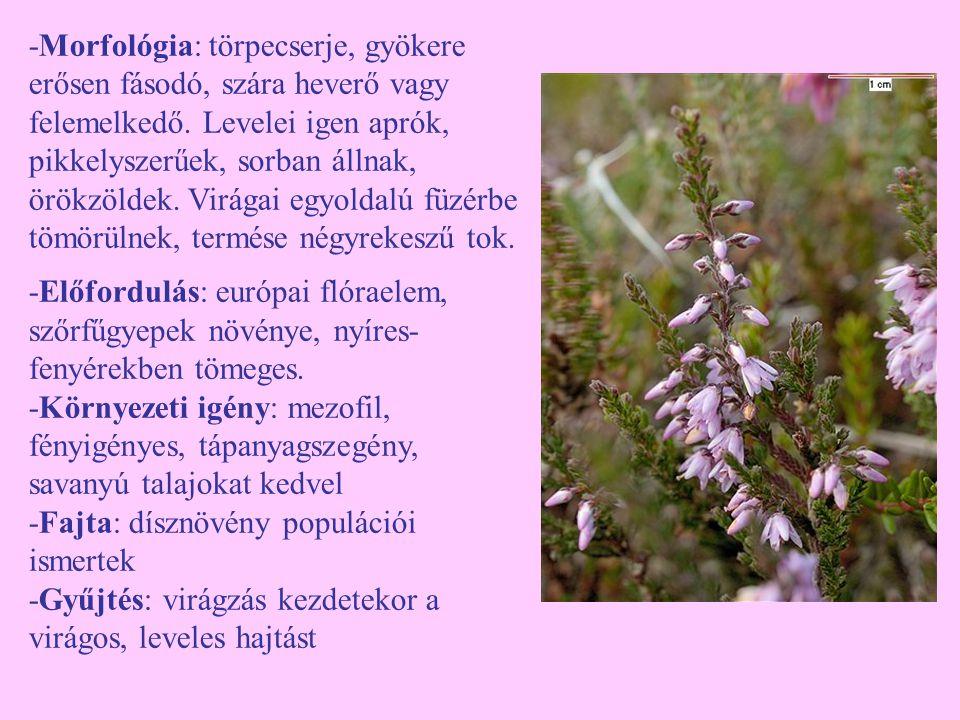 -Morfológia: törpecserje, gyökere erősen fásodó, szára heverő vagy felemelkedő. Levelei igen aprók, pikkelyszerűek, sorban állnak, örökzöldek. Virágai egyoldalú füzérbe tömörülnek, termése négyrekeszű tok.