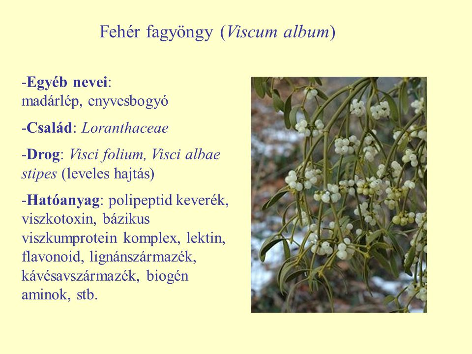 Fehér fagyöngy (Viscum album)