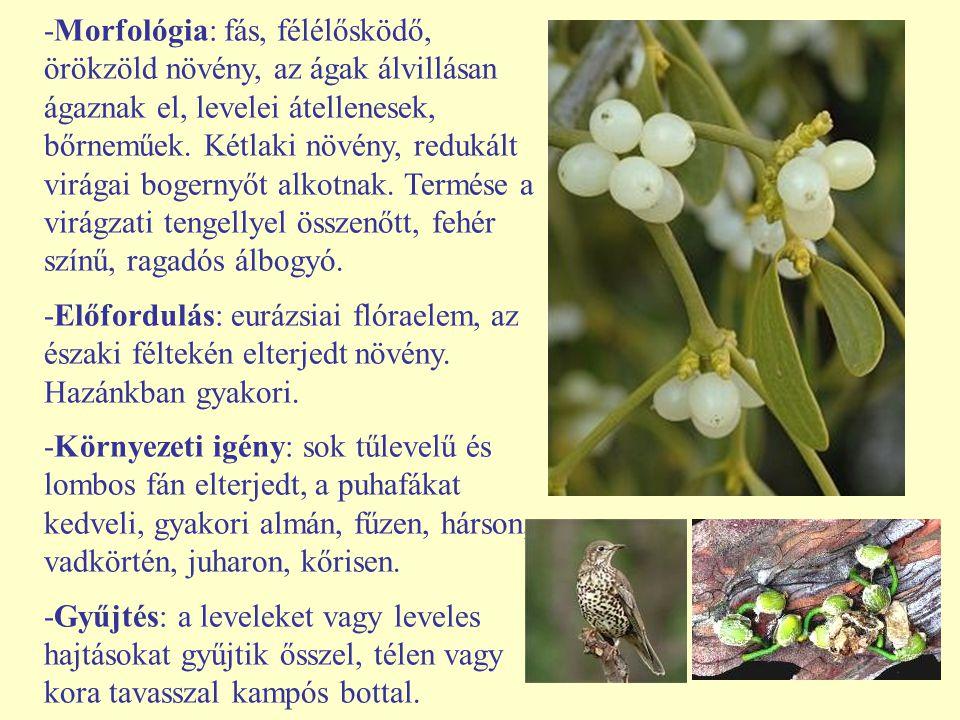 -Morfológia: fás, félélősködő, örökzöld növény, az ágak álvillásan ágaznak el, levelei átellenesek, bőrneműek. Kétlaki növény, redukált virágai bogernyőt alkotnak. Termése a virágzati tengellyel összenőtt, fehér színű, ragadós álbogyó.