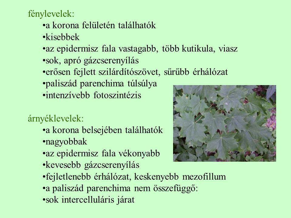 fénylevelek: a korona felületén találhatók. kisebbek. az epidermisz fala vastagabb, több kutikula, viasz.