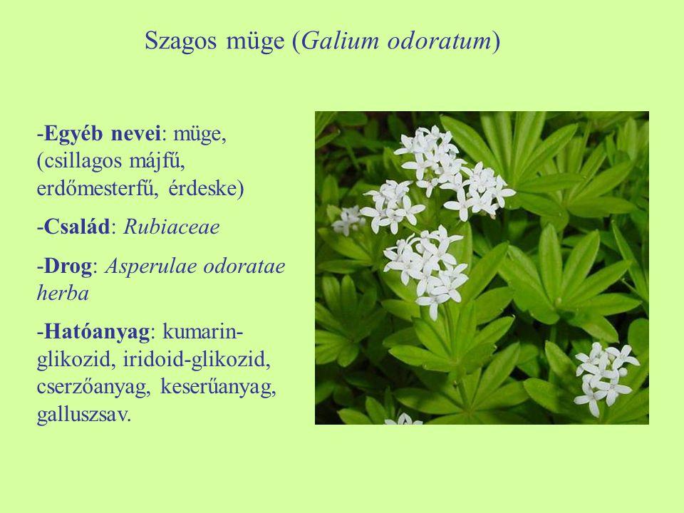 Szagos müge (Galium odoratum)