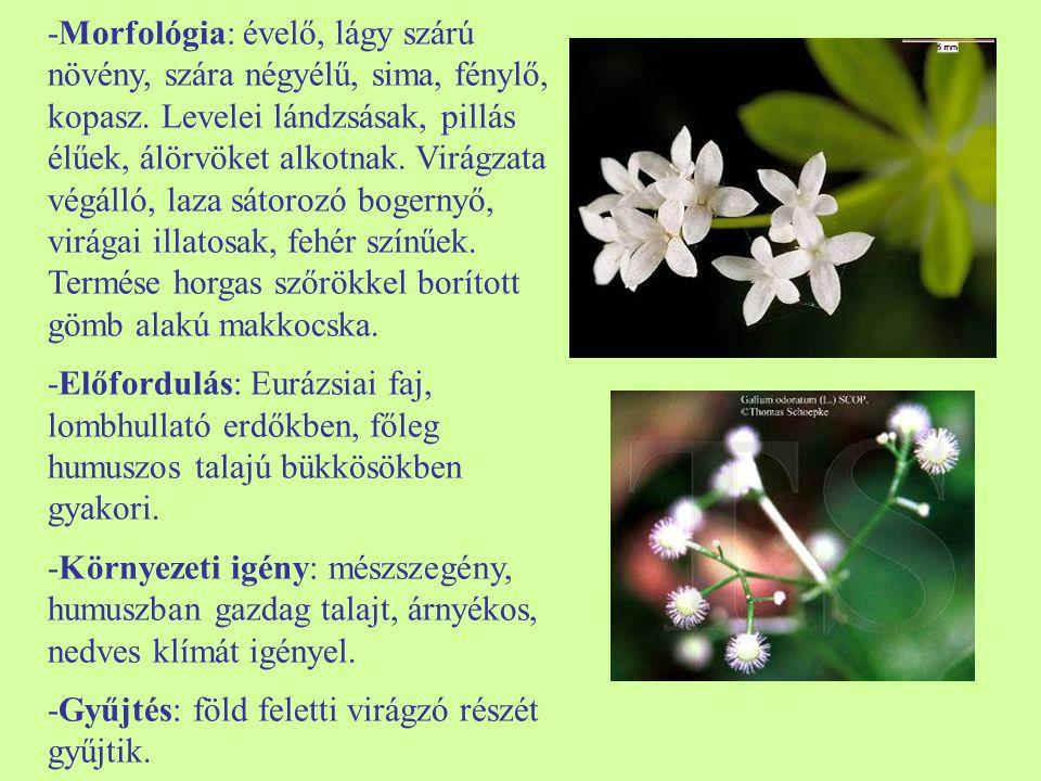 -Morfológia: évelő, lágy szárú növény, szára négyélű, sima, fénylő, kopasz. Levelei lándzsásak, pillás élűek, álörvöket alkotnak. Virágzata végálló, laza sátorozó bogernyő, virágai illatosak, fehér színűek. Termése horgas szőrökkel borított gömb alakú makkocska.