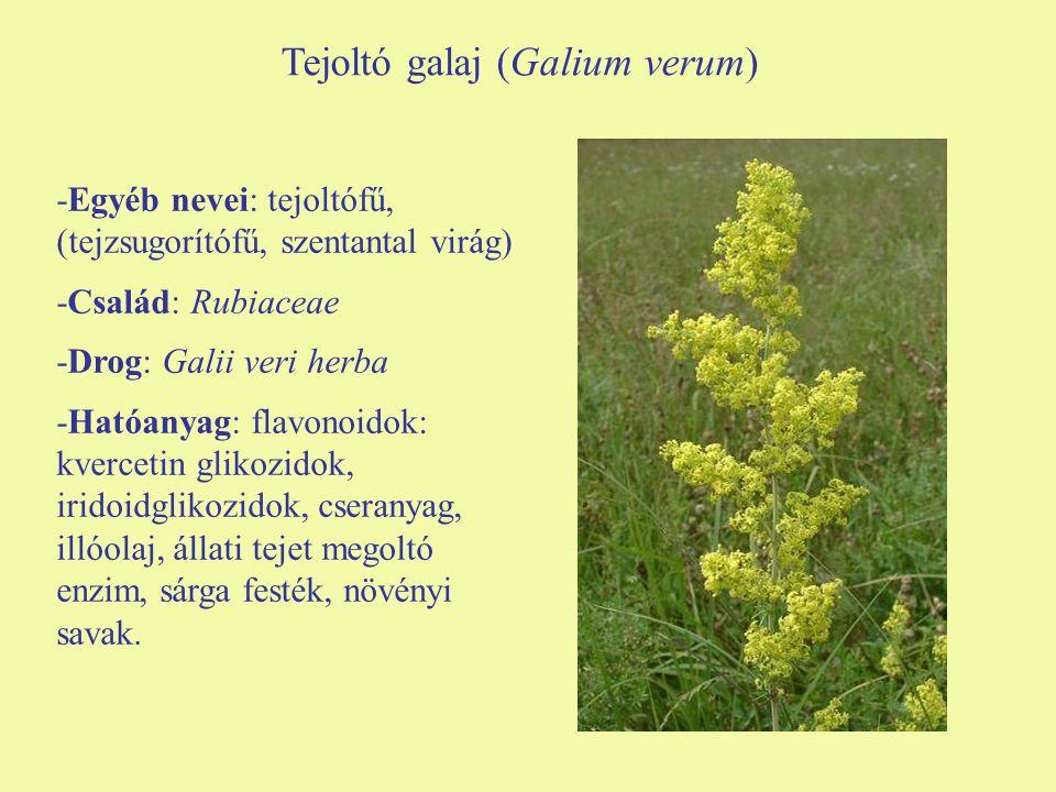 Tejoltó galaj (Galium verum)