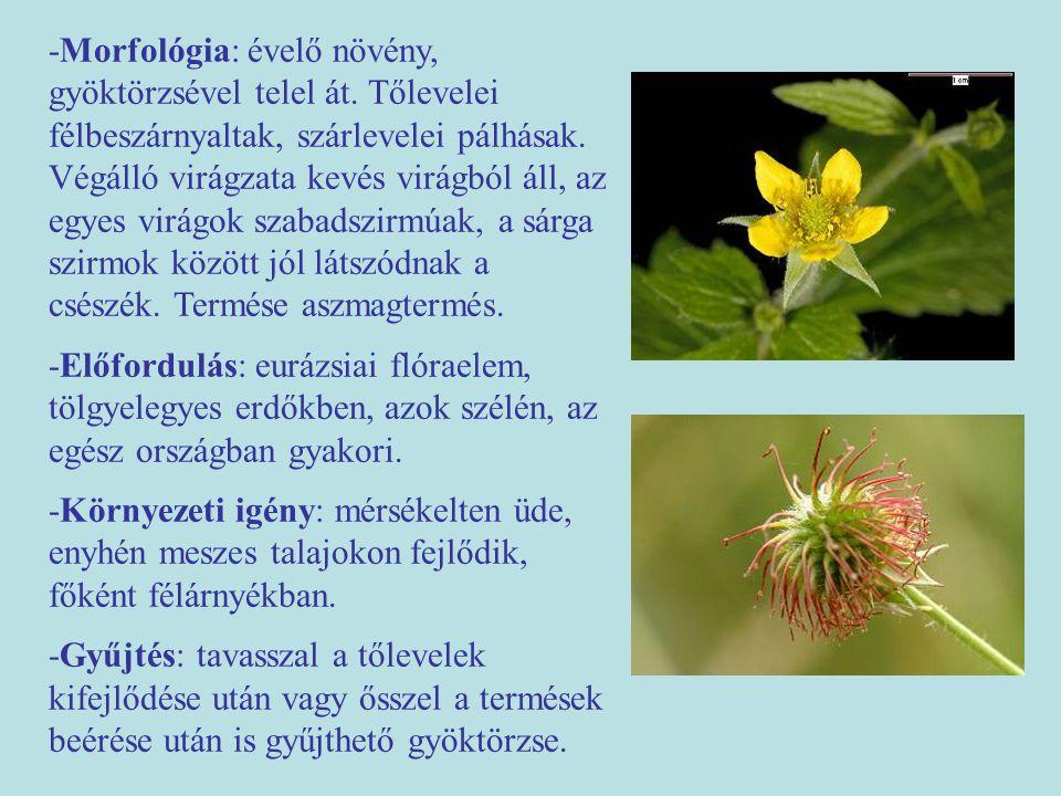 -Morfológia: évelő növény, gyöktörzsével telel át