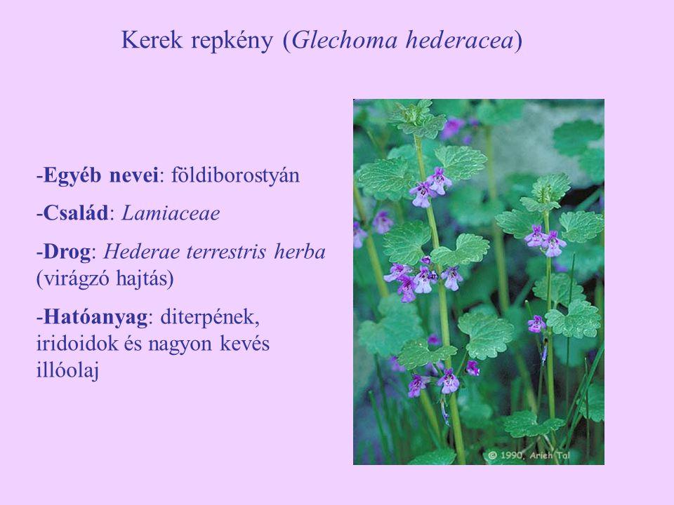 Kerek repkény (Glechoma hederacea)