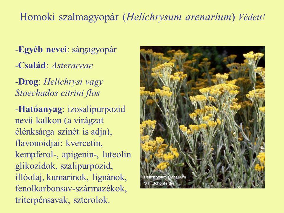 Homoki szalmagyopár (Helichrysum arenarium) Védett!