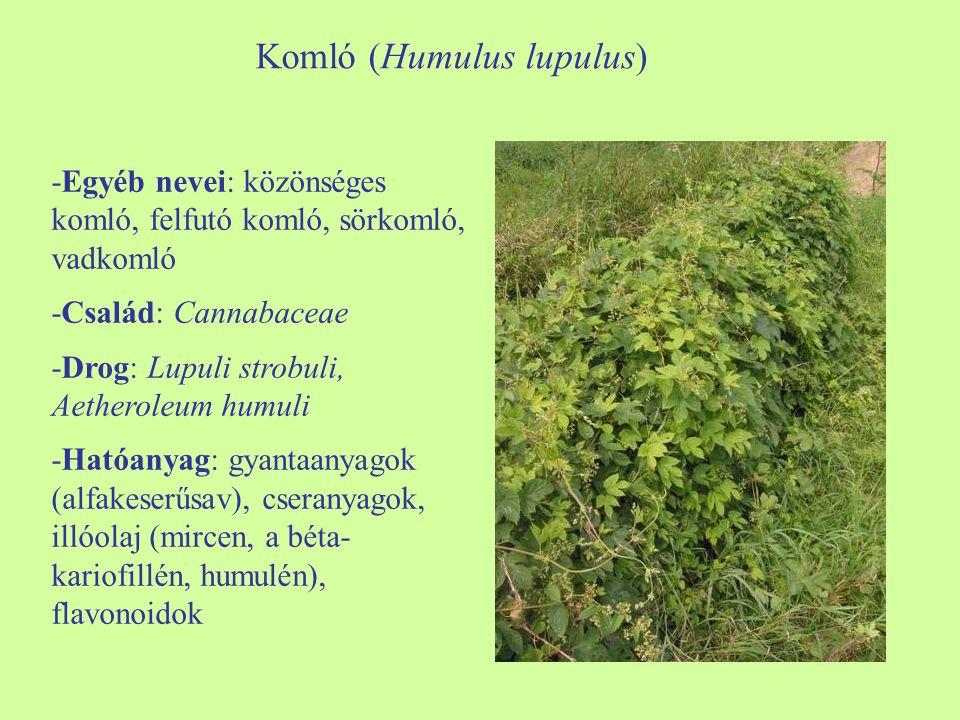 Komló (Humulus lupulus)