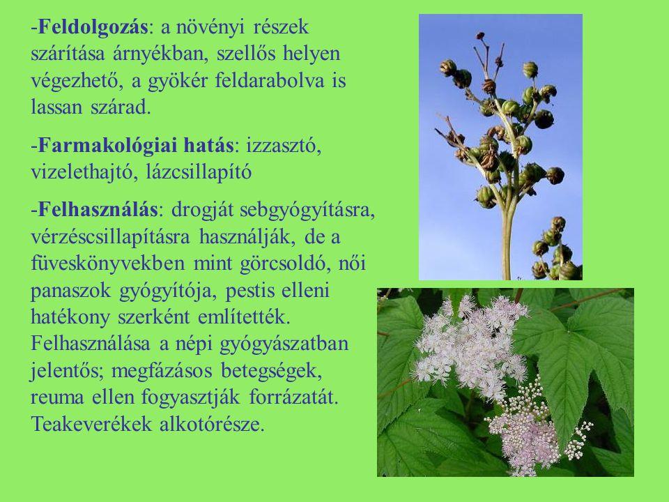 -Feldolgozás: a növényi részek szárítása árnyékban, szellős helyen végezhető, a gyökér feldarabolva is lassan szárad.