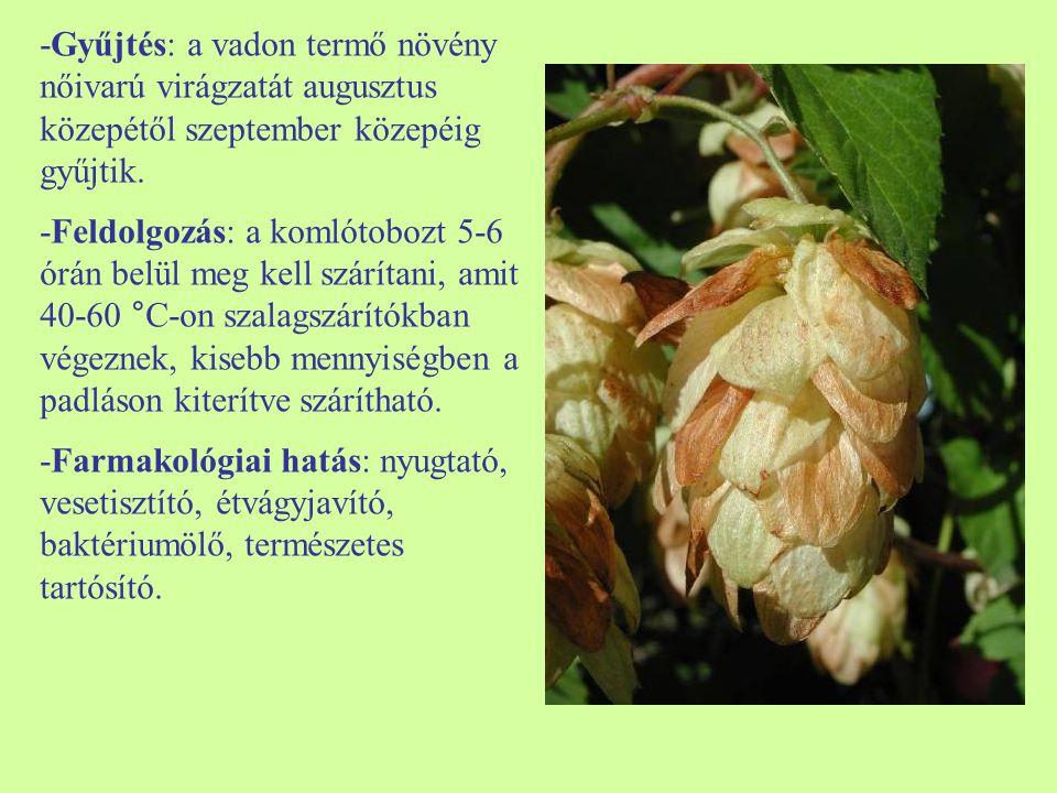 -Gyűjtés: a vadon termő növény nőivarú virágzatát augusztus közepétől szeptember közepéig gyűjtik.