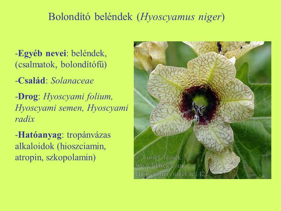 Bolondító beléndek (Hyoscyamus niger)