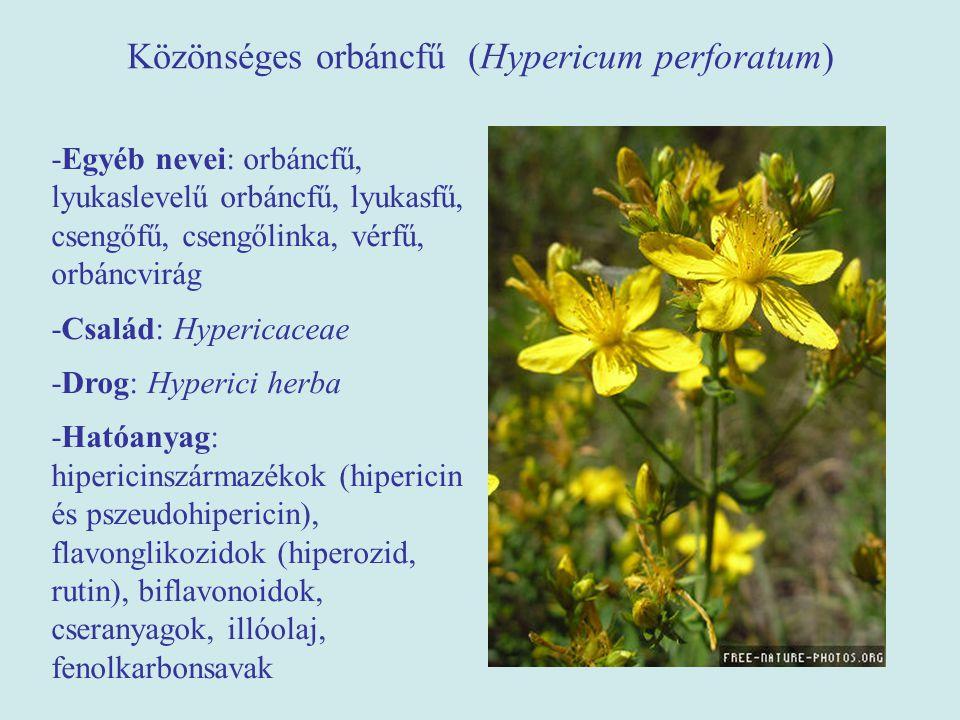 Közönséges orbáncfű (Hypericum perforatum)
