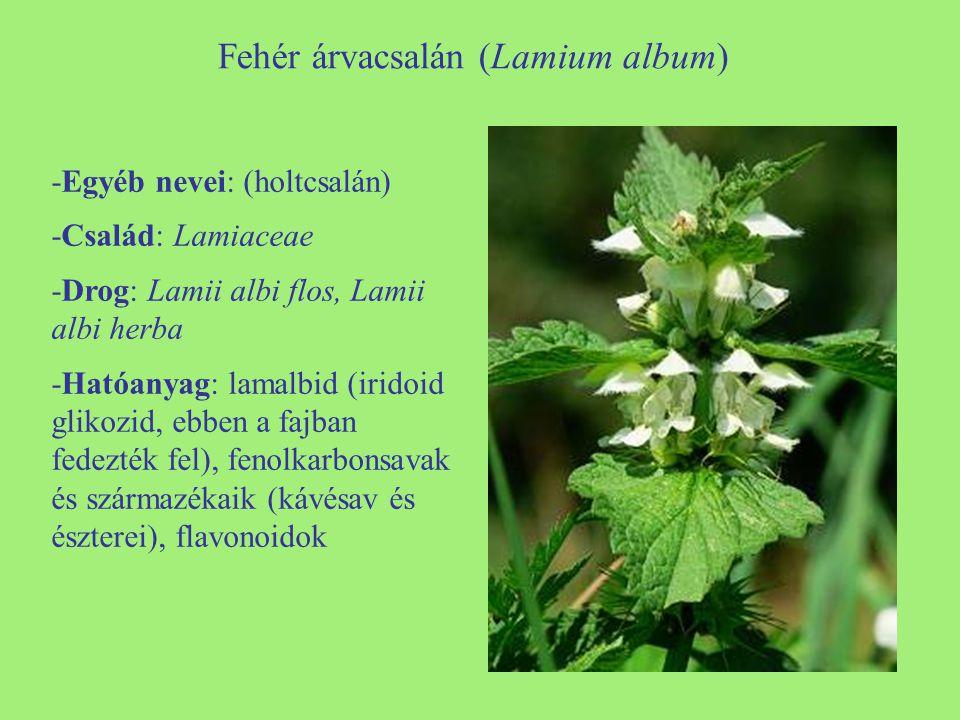 Fehér árvacsalán (Lamium album)